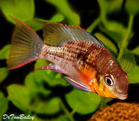 ram fish for sale aquarium fish for sale
