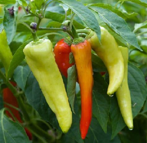 Isi 5 Biji Benih Biji Pepper Sweet Romano Mix Bibit Paprika Swee benih cabe sweet banana pepper 3 biji non retail bibitbunga