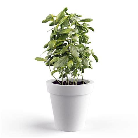 semi di basilico in cucina coltivazione basilico aromatiche come coltivare il