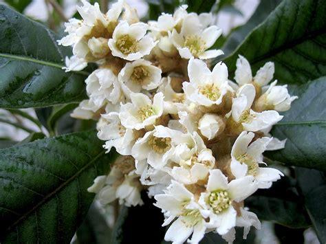 fiori di nespolo archive fiori9