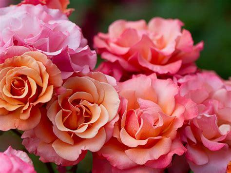 pink petals flower macro wallpaper 1024x768 resolution pink rose flowers macro photography wallpaper 1024x768