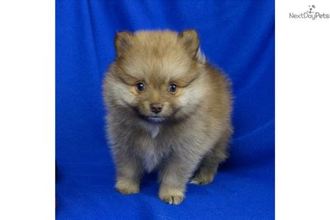 chocolate pomeranians for sale pomeranian owner information and pomeranian breeder directory breeds picture