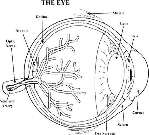 coloring page eyeball 53 best images about anatomy coloring pages on pinterest