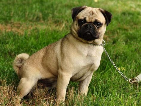 puggle dogs puggle dogs designer dogs puggles breeds picture