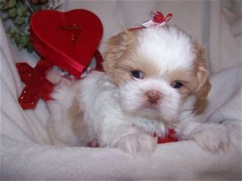 shih tzu and furbaby rescue ny shih tzu puppies for adoption in new york