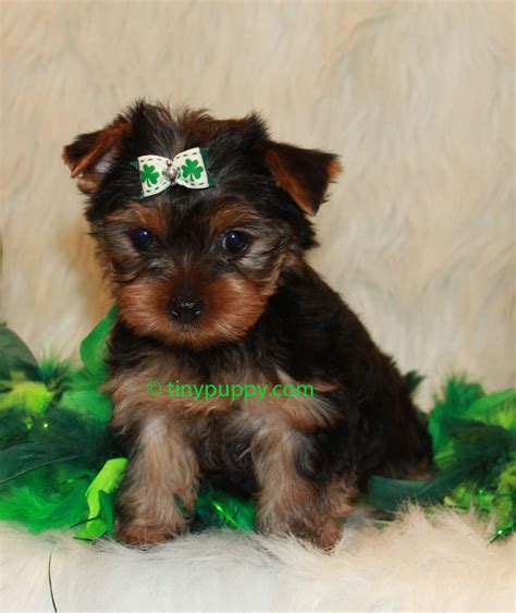 boy teacup yorkie the gallery for gt black teacup maltese puppies