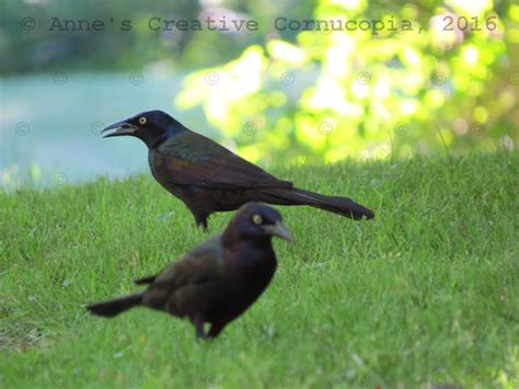 anne s creative cornucopia black birds grackles