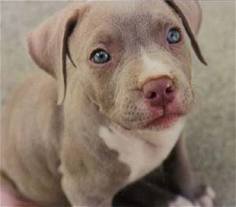 pitbull puppies for sale in baton miniature weimaraner puppies book covers