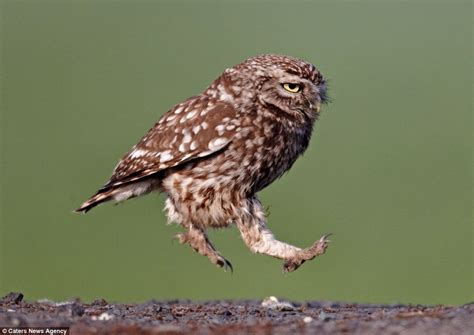 marching bird hungry owl marches like soldier in search