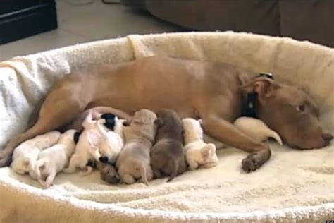 shih tzu cross pitbull pitbull adopts shih tzu pups shih tzu city