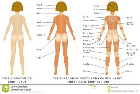 sections of body female body back stock vector illustration of shoulder
