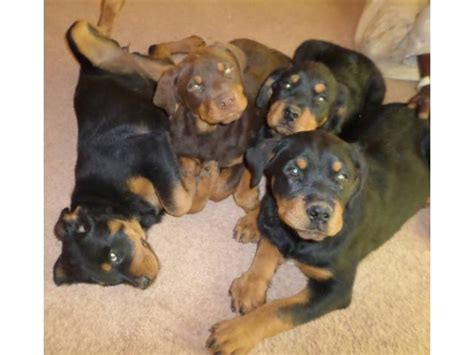 rottweiler for sale gauteng rottweiler puppies for sale sandton ad land south africa