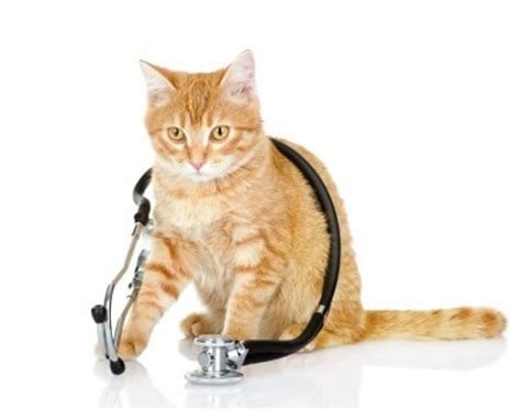 Stethoscope Light Why Cats Going To The Vet And What To Do About It