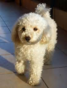 haircutsfordogs poodlemix best 25 poodle cuts ideas on pinterest
