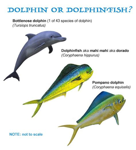 vs non fish dolphin or dolphinfish what s the difference the
