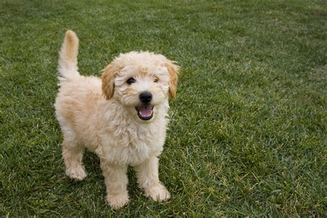 goldendoodle puppy uti are any dogs hypoallergenic health essentials from