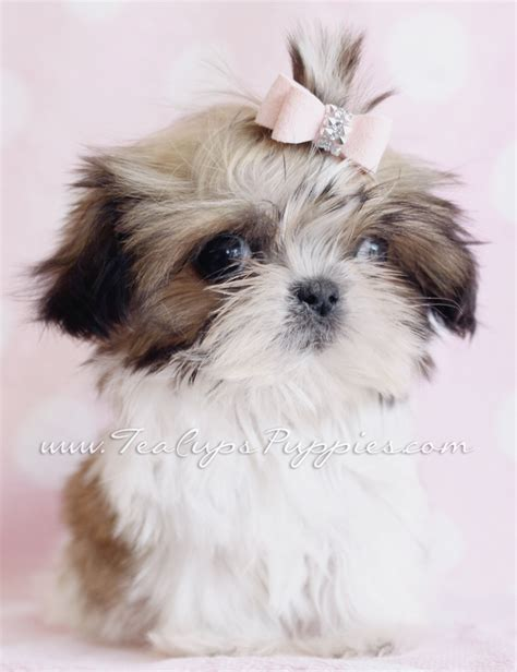 teacup shih tzu puppies for sale in nj teacup shih tzu puppy litle pups