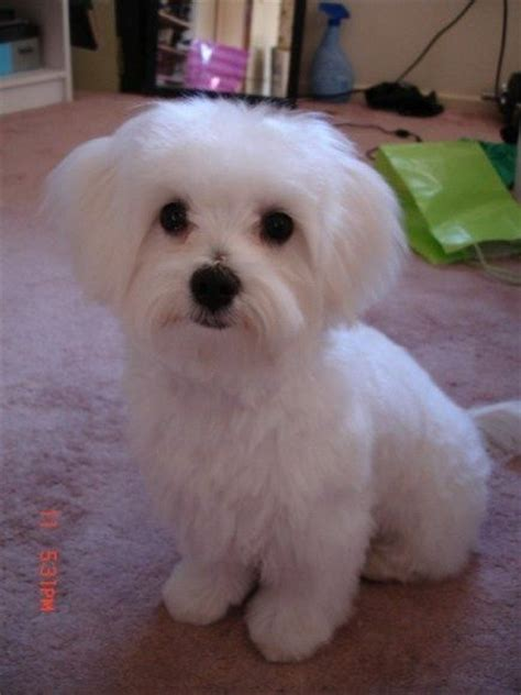 maltese dog cottony hair maltipoo haircuts maltipoo hair cuts dog haircuts