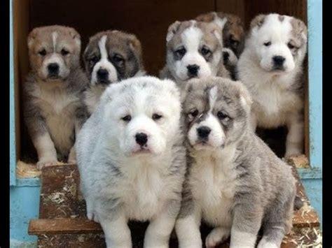 alabai puppies unique turkmen alabai puppies