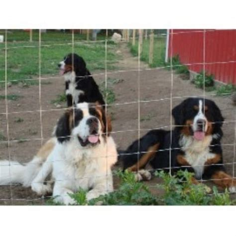 bernese mountain puppies ohio bernese mountain breeders in the usa and canada freedoglistings page 1