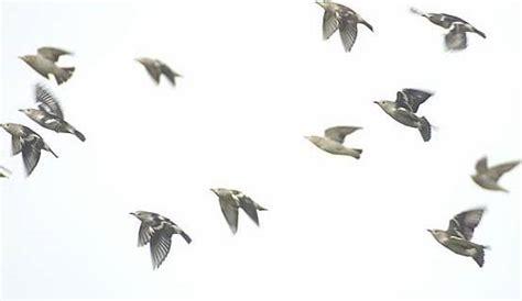 Jalak Kapas jalak kapas sering bermigrasi ke indonesia klub burung