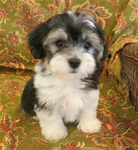 best havanese breeders in nj best search havanese havanese breeders breeds picture