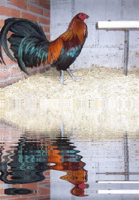 razas de gallos que se juegan en mexico ver galer 237 a de fotos de gallos de pelea del mundo la