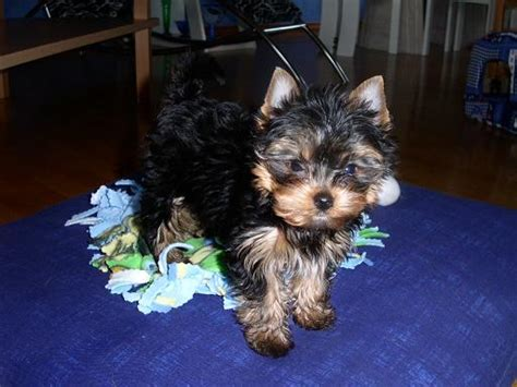 free teacup yorkies in adorable teacup yorkies puppies and for free adoption pets nigeria
