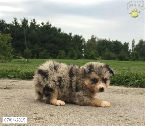 puppies for sale iowa pomsky puppy for sale in iowa animals for sale pomsky puppies and puppys