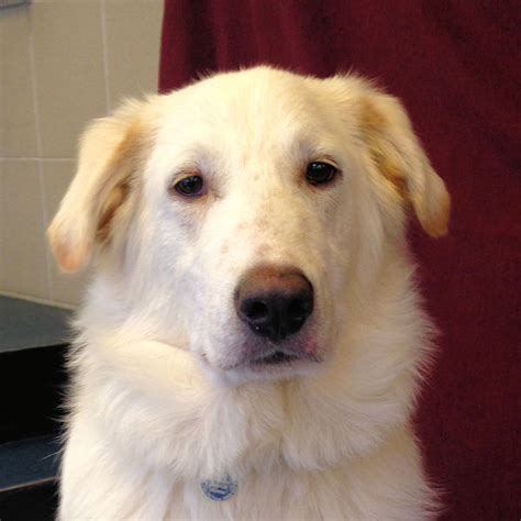 staffy cross golden retriever bello 8 month german shepherd cross golden retriever for adoption