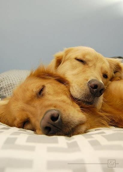 pictures of puppies sleeping dogs sleeping together awww photo pictures