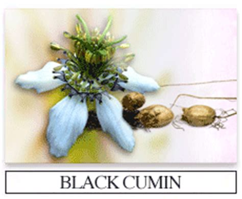 Black Cumin Seed And Liver Detox Pubmed by Black Cumin Seed Herbal Formulas Capsules And Tablets
