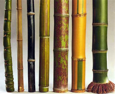facts about bamboo guadua bamboo