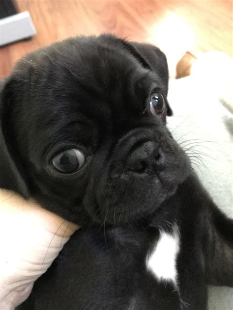 pet insurance for pugs baby pug question also pet insurance worth it for pugs pugs