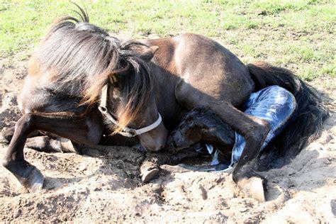 fjord paard de paarden van het fjordenpaard het fjordenpaard