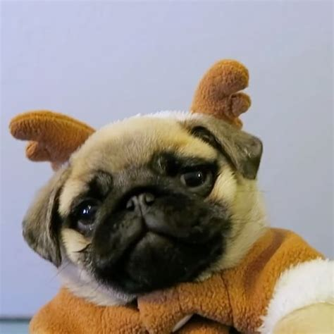 dixie pugs 17 best ideas about pug breeders on pug puppies a pug and pug