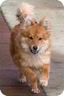 pomeranian sacramento 1000 ideas about puppy for adoption on dogs pets and adopt a