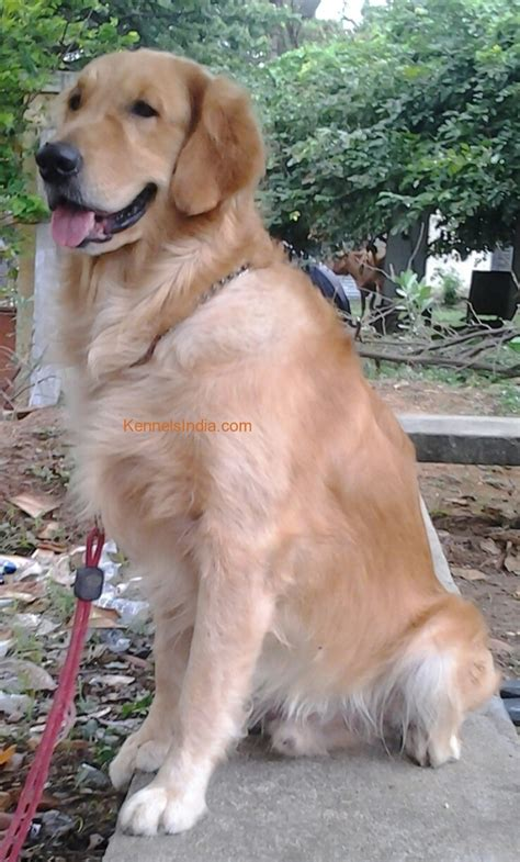 price golden retriever price of golden retriever puppy in chennai photo