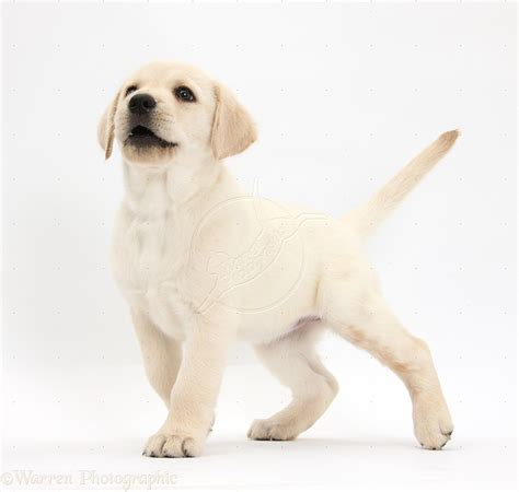 yellow lab puppy names names popular and names pets world