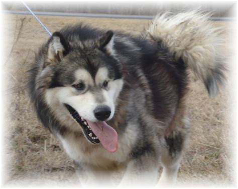 alaskan malamute puppies for sale tatonka alaskan malamutes puppies for sale alaskan