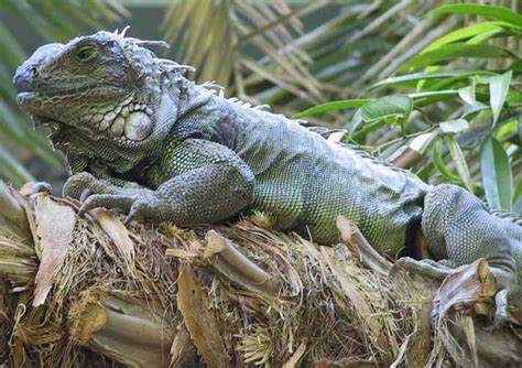 can iguanas change color come on a safari with me