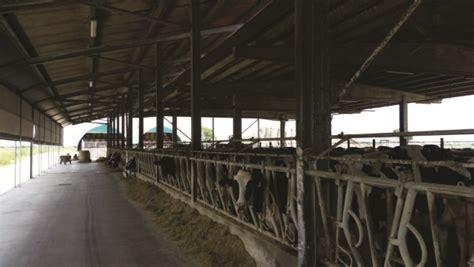 razione alimentare bovini da latte sanit 224 appetibilit 224 e risparmio con l insilato di frumento
