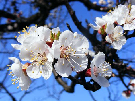 flower blossom wallpaper apricot blossom flower wallpaper flower wallpapers