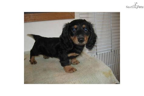 dachshund puppies illinois dachshund mini for sale for 300 near southern illinois illinois 38f7b386 57d1