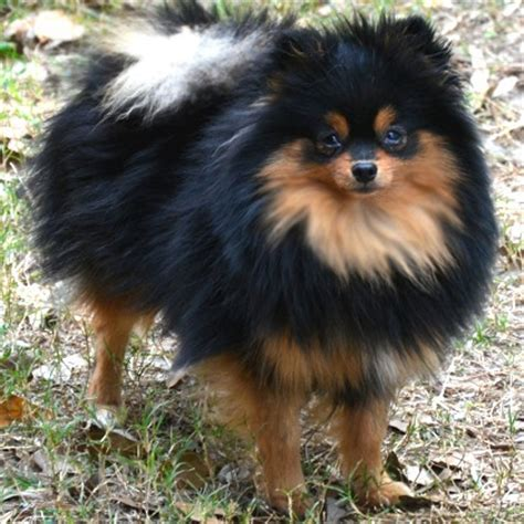 brown and black pomeranian pomeranian brown