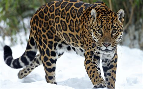 google imagenes de jaguares jaguar predator snow eyes cat wallpaper 1920x1200