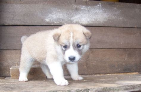 japanese akita puppies 8 japanese akita puppies birmingham west midlands pets4homes