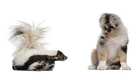 deskunking a how to get rid of skunk odor from your