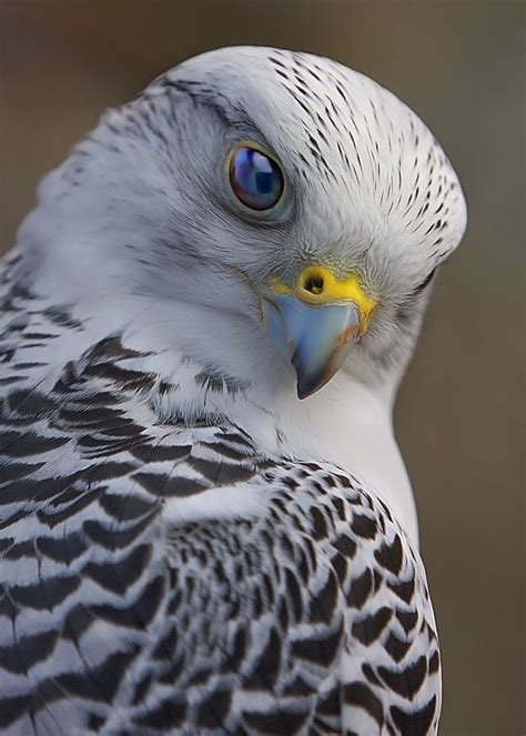 92 best images about falcon bird on pinterest discover