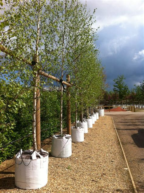 tree container 17 best images about barcham trees container grown in